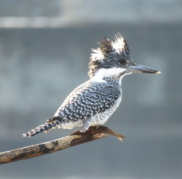250. Crested Kingfisher
