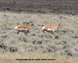 250. Pronghorn Antelope