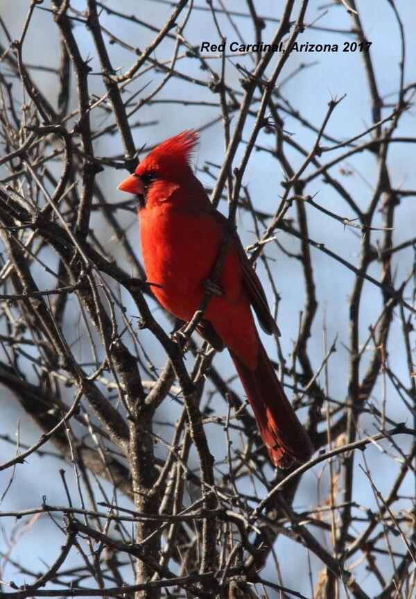 Red Cardinal, Arizona