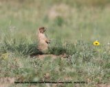 256. Prairie Dog