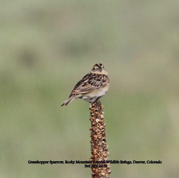 257a. Grasshopper Sparrow