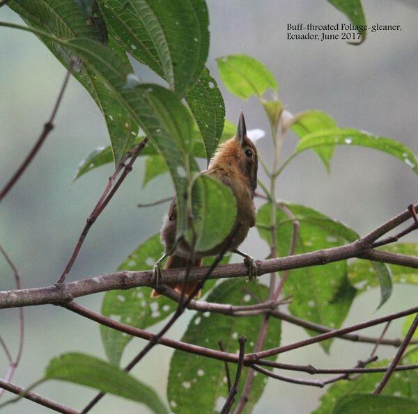 Buff-throated Foliage Gleaner
