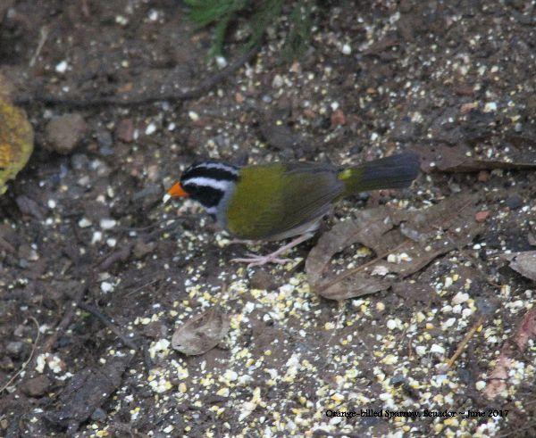 25th #23 ~ Orange-billed Sparrow