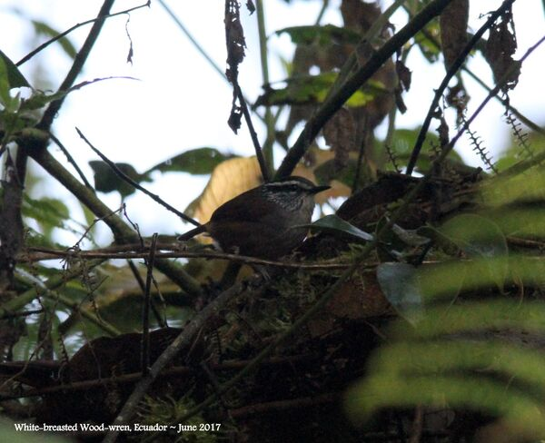25th #4 ~ White-breasted Wood-wren