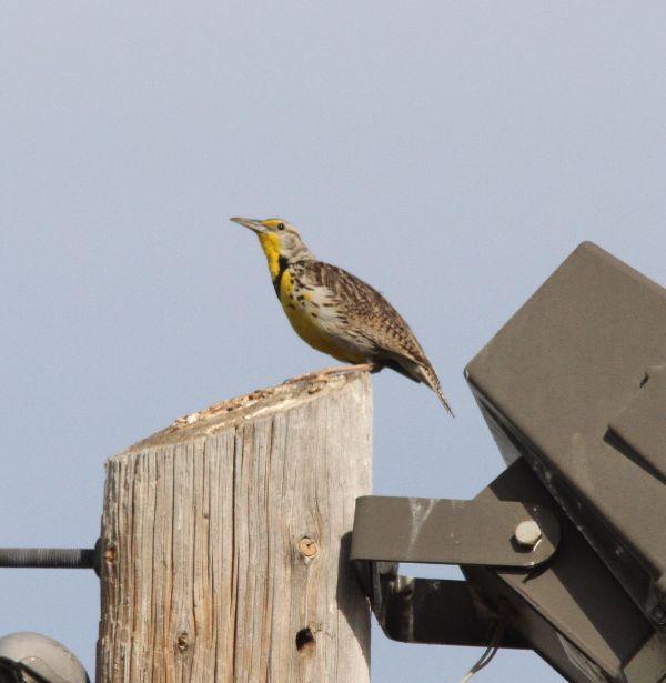 260. Meadowlark