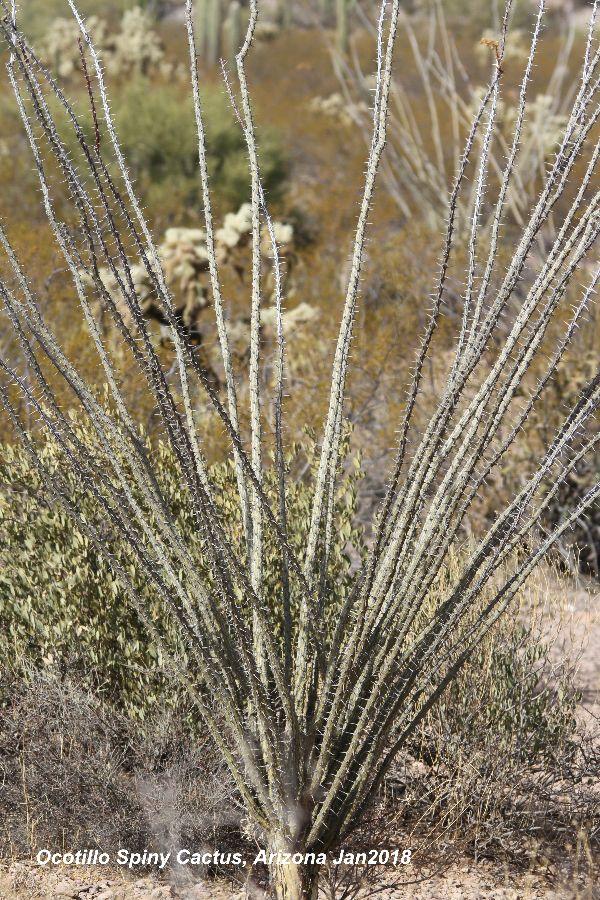 260) Ocotillo Spiny Cactus