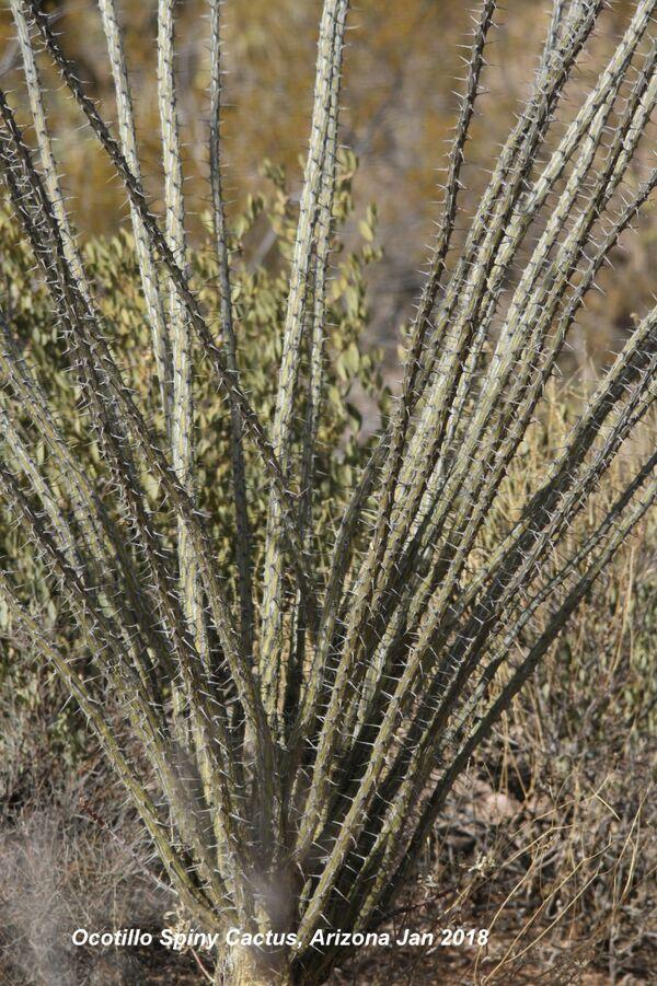 Ocotillo Spiny Cactus, Arizona