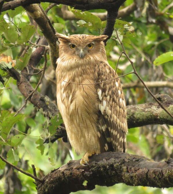 Brown Fish-Owl