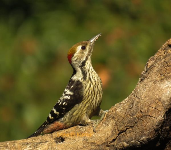 263. Brown-fronted Woodpecker
