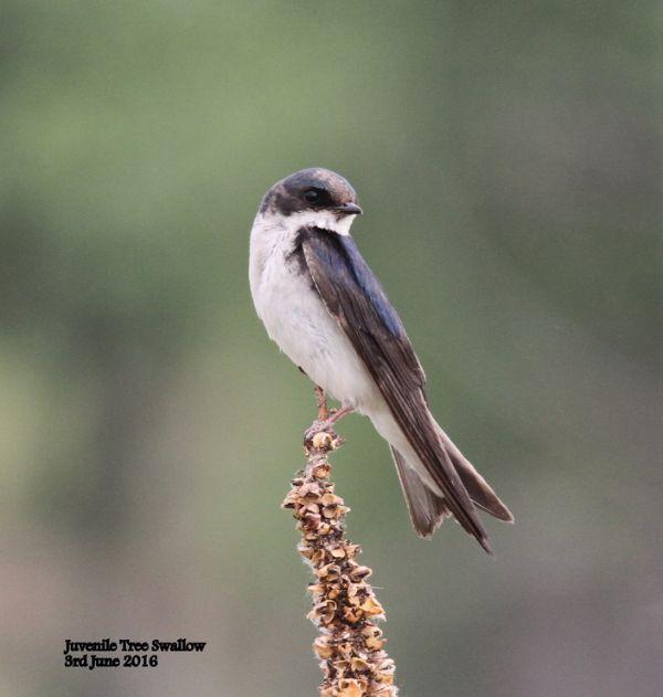 265. Tree Swallow