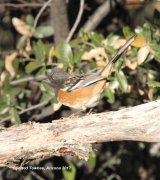 266z) Spotted Towhee