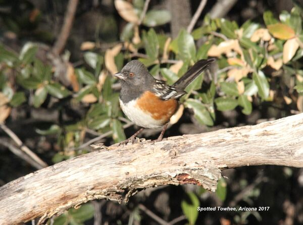 267z) Spotted Towhee
