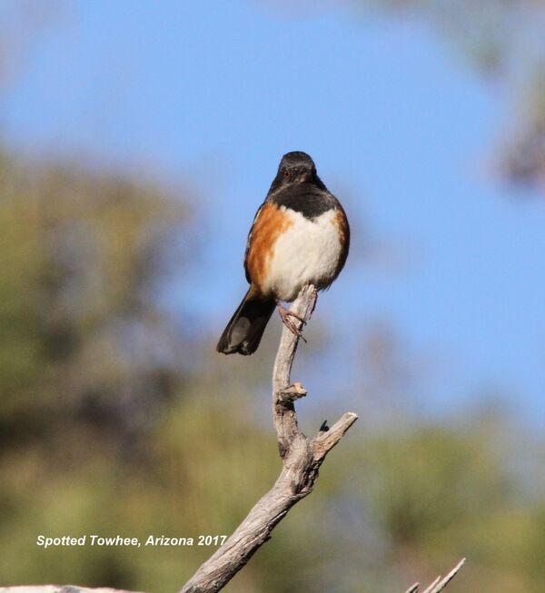 Spotted Towhee, Arizona