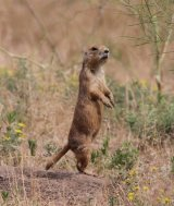 270. Prairie Dog