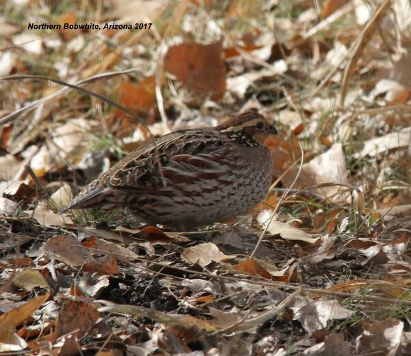 Northern Bobwhite (Fem), Arizona