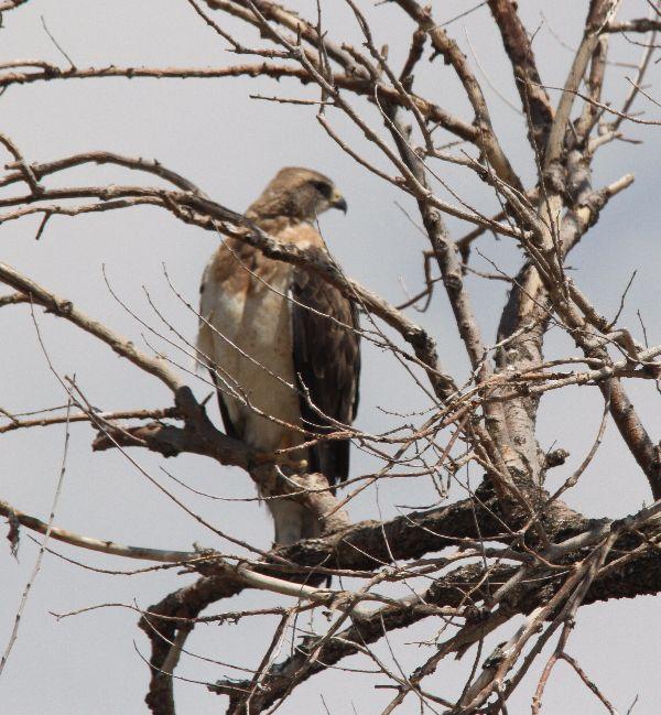 273. Swainson's Hawk