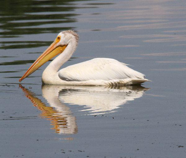 276. American White Pelican