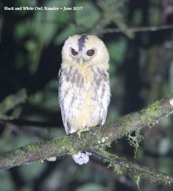 27th #1 ~ Black and White Owl (Juv)