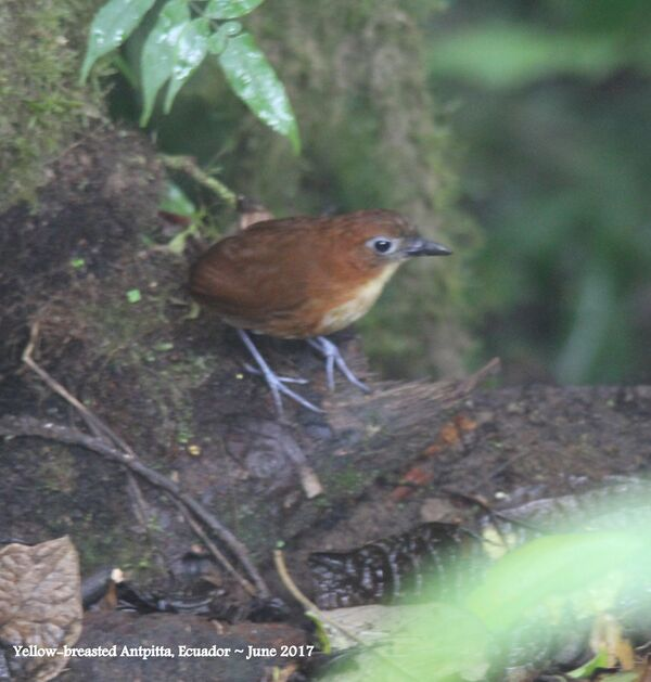 27th #5 ~ Yellow-breasted Antpitta