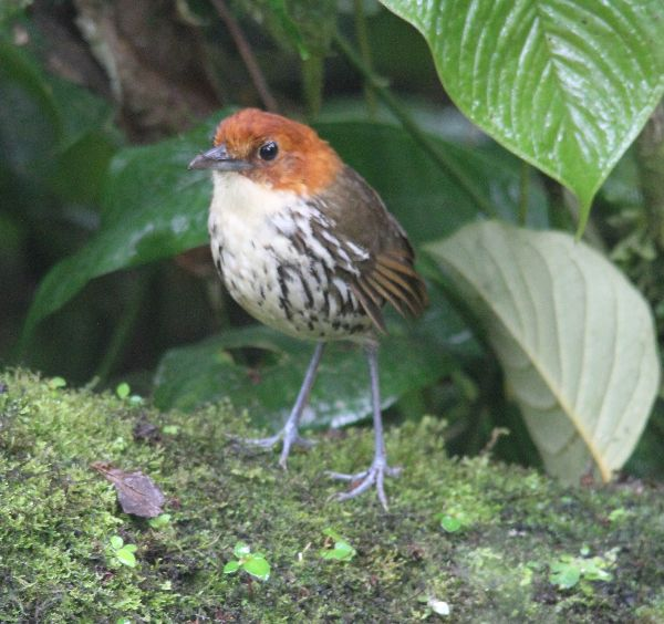 27th #8 ~ Chestnut-crowned Antpitta