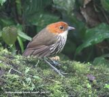 27th #9 ~ Chestnut-crowned Antpitta