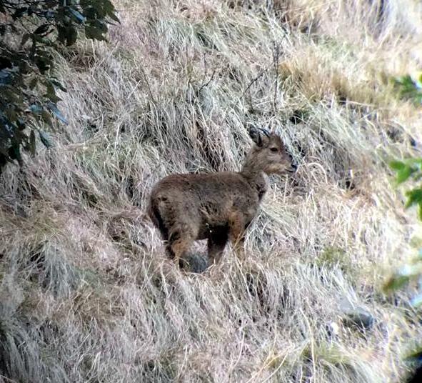 Himalayan Grey Goral ~ Wild Goat