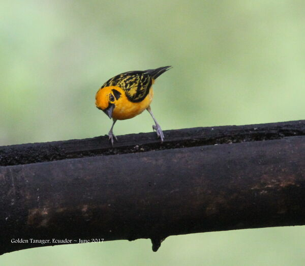 28th #15 ~ Golden Tanager