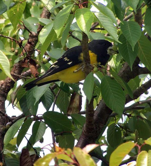 295a. Spot-winged Grosbeak
