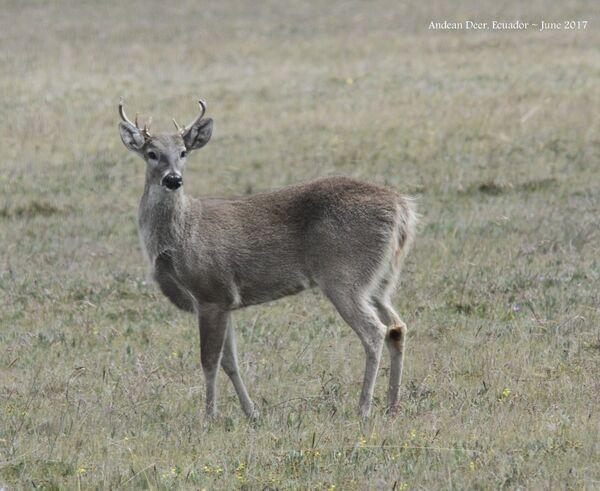 Andean Deer
