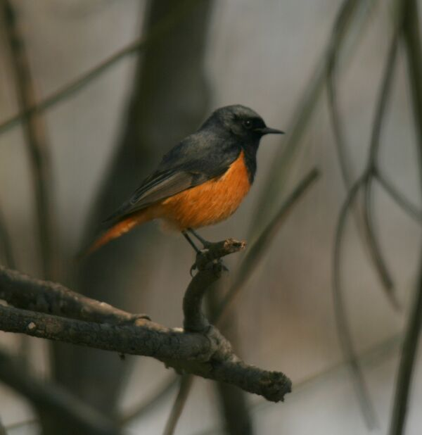 Black Redstart (rufiventris)