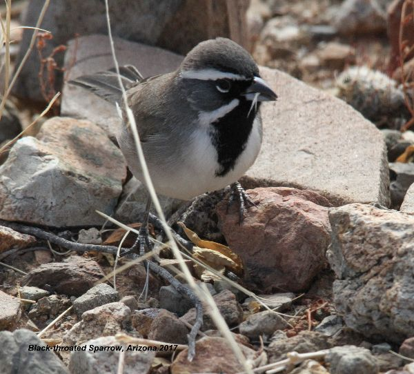 300z) Black-throated Sparrow