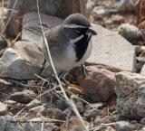 300z) Black-throated Sparrow