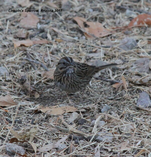 Lincoln's Sparrow, Arizona