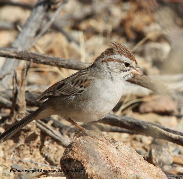 Rufous-winged Sparrow, Arizona