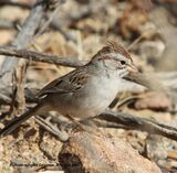 304z) Rufous-winged Sparrow