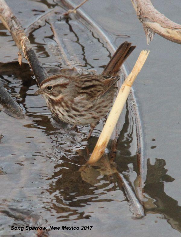 308z) Song Sparrow
