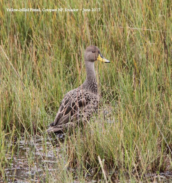 30th 1st #20 ~ Yellow-billed Pintail