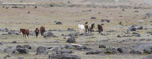 Wild Horses ~ Cotopaxi National Park