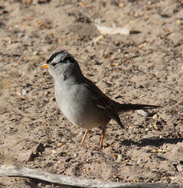 311) White-crowned Sparrow