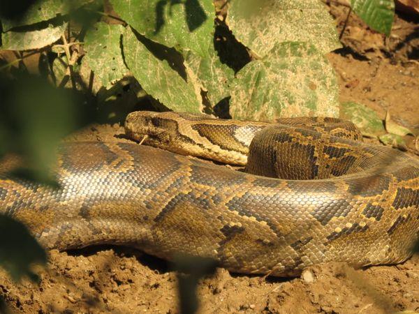377. Indian Rock Python