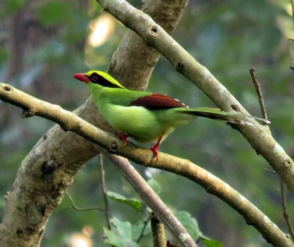 379. Green Magpie