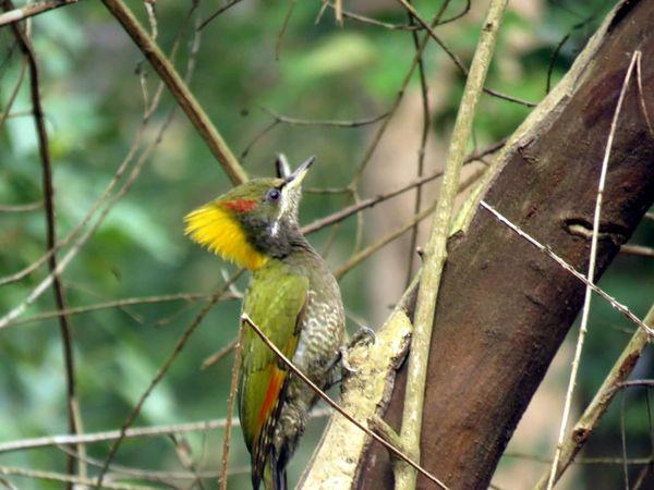 381. Lesser Yellownape