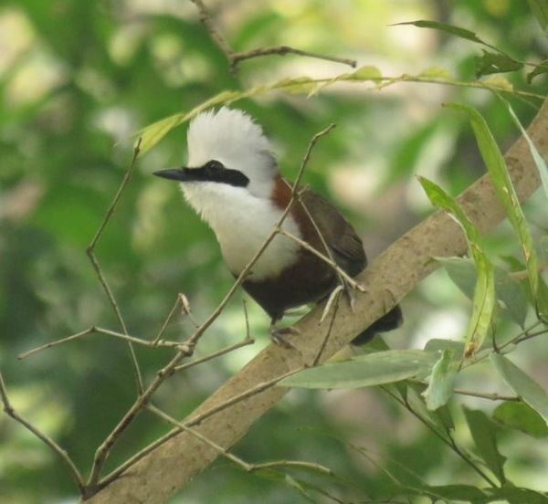 382. White-crested Laughingthrush
