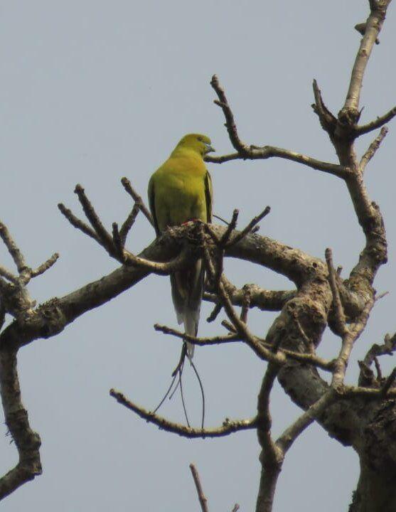 Yellow-legged Green Pigeon
