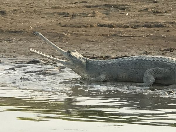 51. Gharial ~ Chambal River
