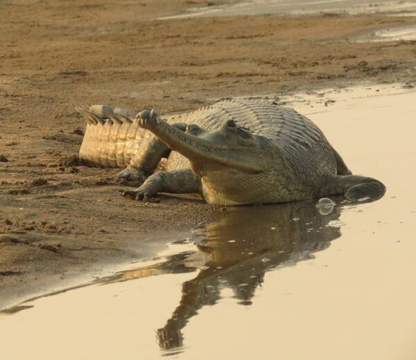 Gharial ~ Chambal River
