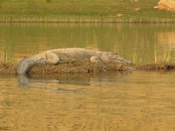 Marsh Muggar Crocodile