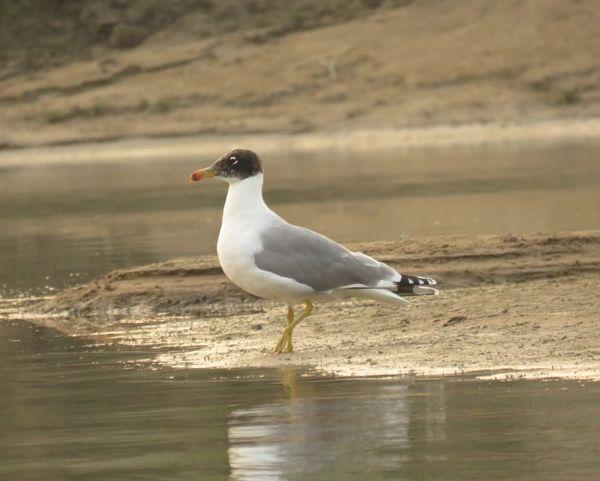 61. Pallas' Gull