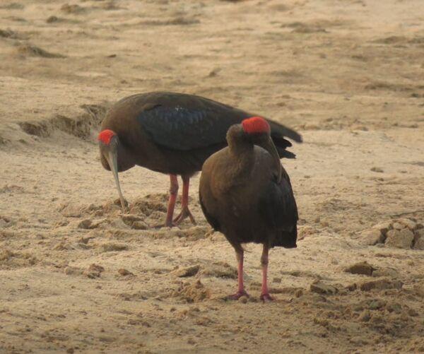 Red-naped Ibis