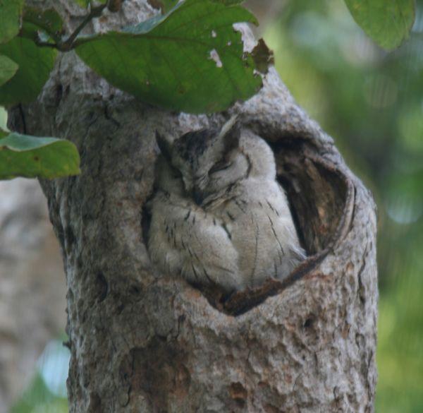 69. Indian Scops Owl